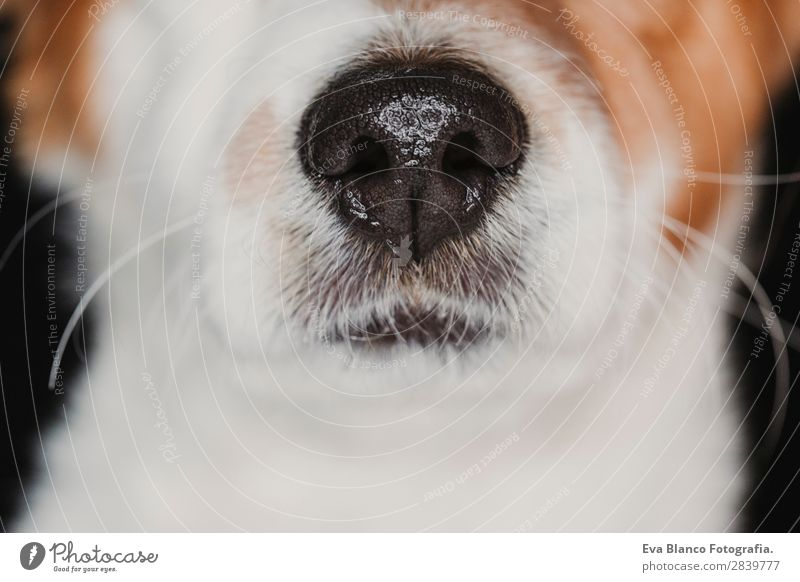 close up view of a dog snout. brown fur. macro shot Dog Beautiful White Animal Black Face Love Small Brown Wet Cute Curiosity Sleep Intellect Pet Mammal