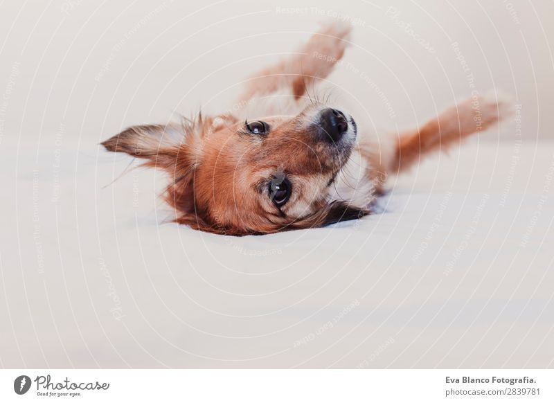 cute dog lying on bed and resting. morning concept Illness Relaxation Winter Bedroom Animal Warmth Pet Dog Love Sleep Dream Small Funny Cute Brown Safety Loyal