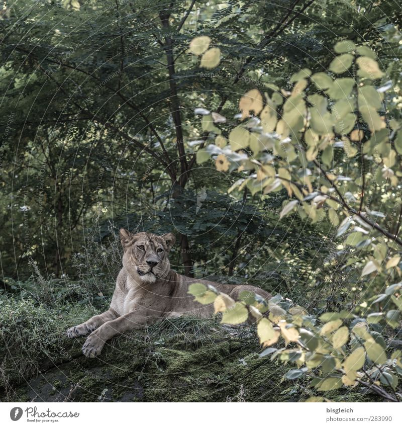 Lioness III Zoo Animal Wild animal 1 Lie Looking Brown Green Colour photo Exterior shot Deserted Copy Space top Day Full-length