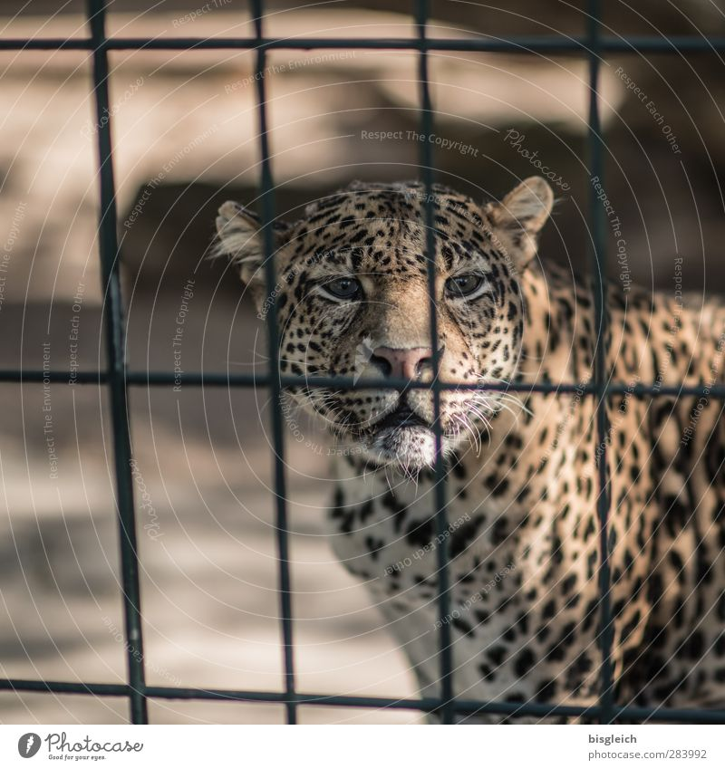 leopard Zoo Animal Wild animal Animal face Panther 1 Grating Looking Brown Yellow Gold Colour photo Exterior shot Deserted Copy Space left Day