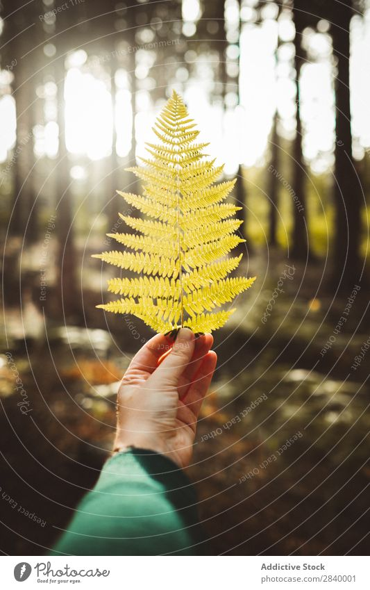 Crop hand holding yellow leaf Human being Fern Leaf Forest Autumnal Indicate Plant Green