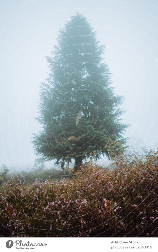 Pine tree in foggy morning pine tree Fog Landscape Spruce Forest Magic Peaceful Haze Spooky Deserted Seasons Colour Nature Rural Adventure scenery Mysterious