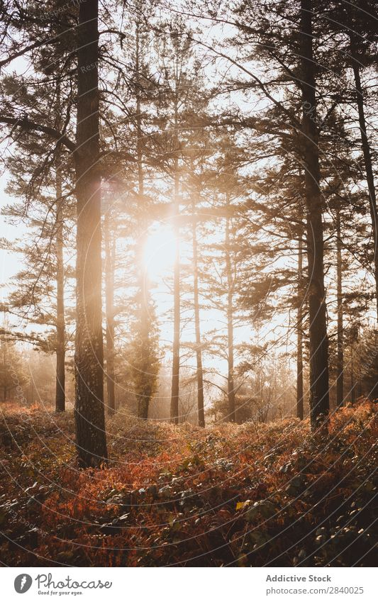 Sunlight in tranquil autumnal woods Forest Autumn Magic scenery Nature Fog Picturesque Fresh Leaf Environment Light Seasons Natural Bright Landscape Sunbeam