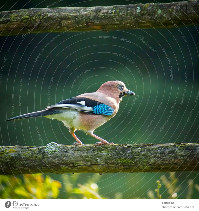 old robber! Nature Meadow Forest Animal Wild animal Bird 1 Aggression Curiosity Thief Jay Police Officer Feather Turquoise Hunter Colour photo Exterior shot