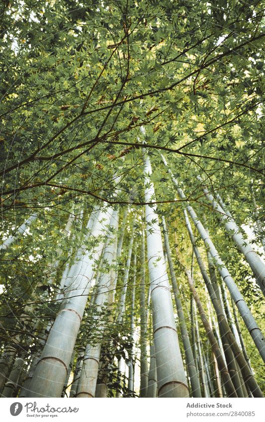Bamboo trees in woods Forest Tree Green Growth Tropical Wilderness Nature Virgin forest Garden Environment Natural Fresh orient giant Vacation & Travel wildlife