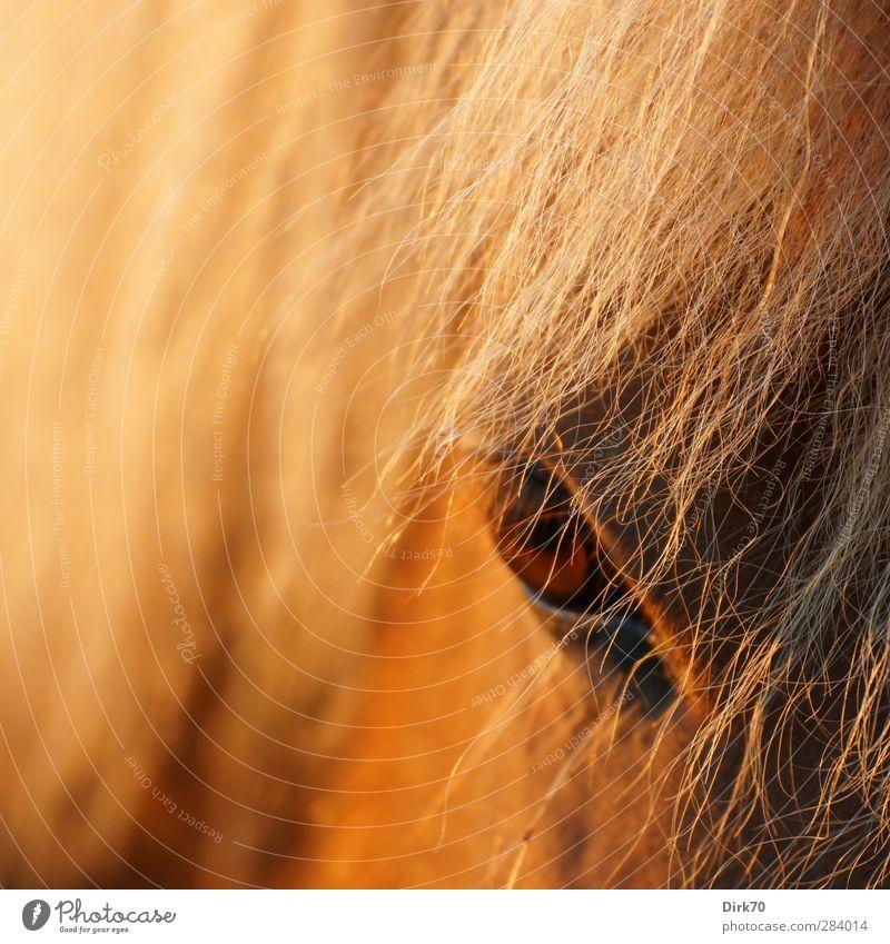 Blonde mane, brown eye Ride Animal Farm animal Horse Mane Hair and hairstyles Pelt Fox 1 Observe Looking Threat Dark Wild Brown Yellow Gold Black Anger
