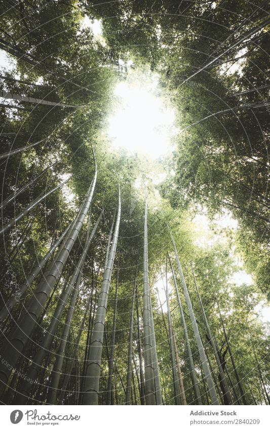 Sun lighting through bamboos Bamboo Sunlight Forest Green Nature Asia Landmark Growth Park Plant Culture arashiyama Japan Environment Kyoto Ecological