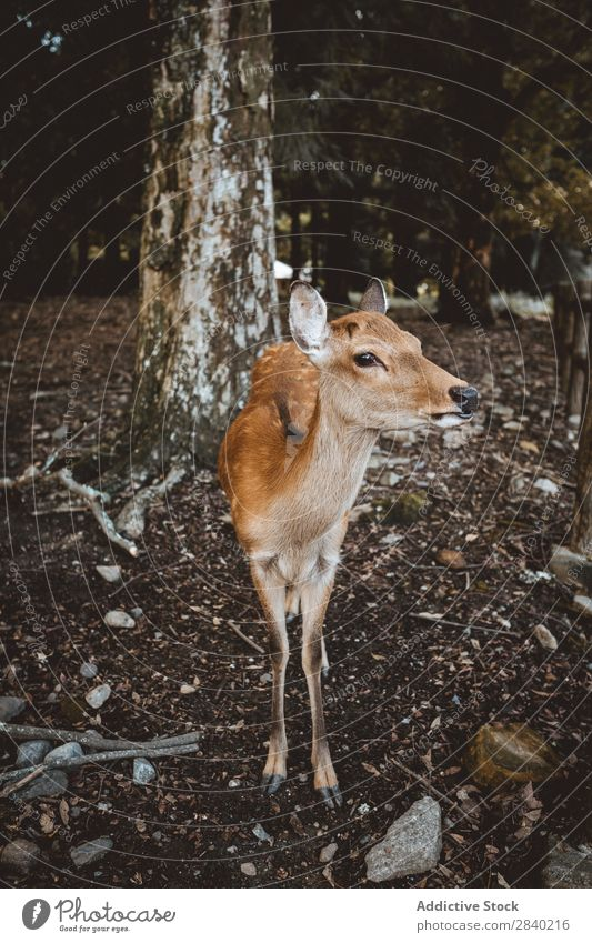 Deer in forest Forest Nature Mammal Animal wildlife Fawn Tree fauna Beautiful doe Wilderness Cute Small Charming Hunting Park white-tailed Delightful Ground
