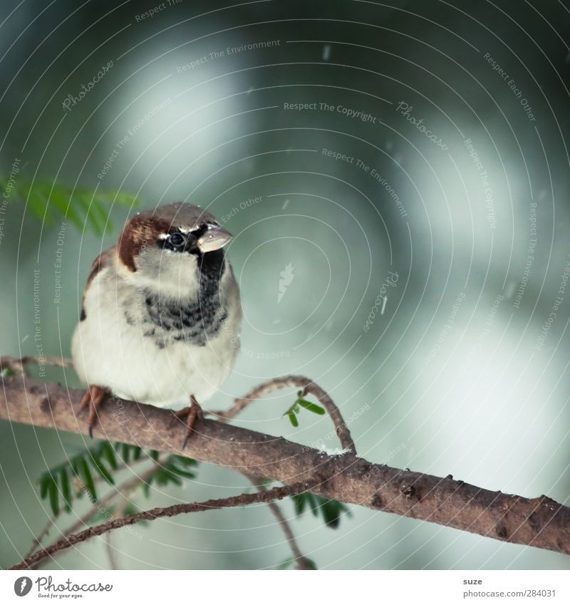 Little Man Environment Nature Animal Winter Weather Wild animal Bird 1 Sit Wait Small Cute Brown Gray Sparrow Feather Animalistic Song Twig Beak Ornithology