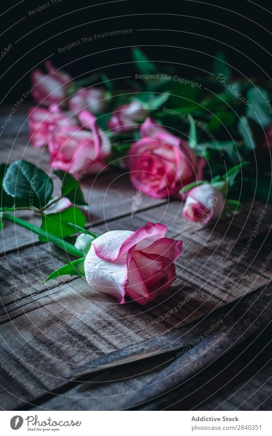 Close-up soft pink roses Rose Pink Beautiful Flower Nature Scissors Love Beauty Photography Colour Blossom leave White Romance valentine Plant Floral Green
