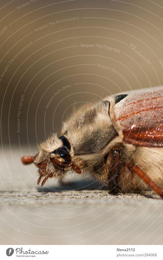 Visit from May...in October! :) Nature Animal Beetle 1 Brown May bug Insect Crawl Hair Eyes Colour photo Exterior shot Close-up Macro (Extreme close-up)
