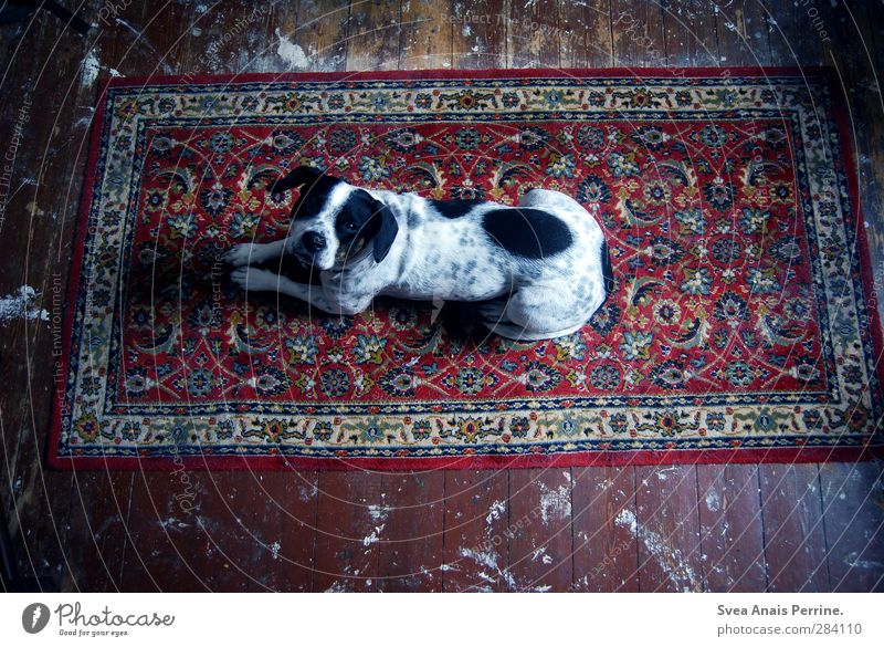 Carpet love. Wooden floor Wooden board Animal Dog 1 Lie Dark Emotions Shadow play Pattern Spotted Dirty Expectation Pet Colour photo Subdued colour