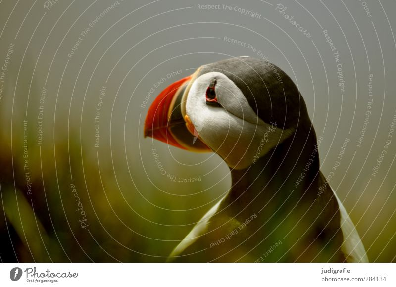 Nature Beautiful Animal Environment Grass Coast Bird Moody Natural Wild animal Wait Cute Iceland Puffin