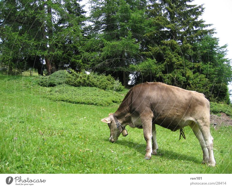 cow Cow Grass Tree Brown Calf Cattle Transport tan green Nutrition