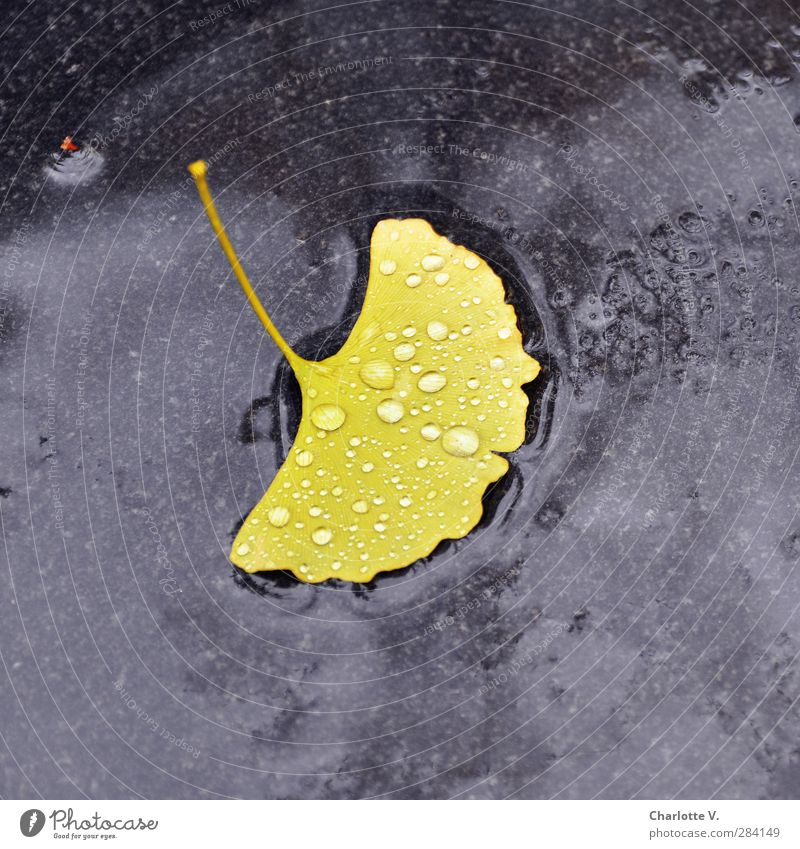 ginkgo leaf Plant Autumn Bad weather Rain Leaf Ginko Stone Water Esthetic Simple Exotic Wet Soft Yellow Black Purity finite Loneliness Uniqueness End Symmetry