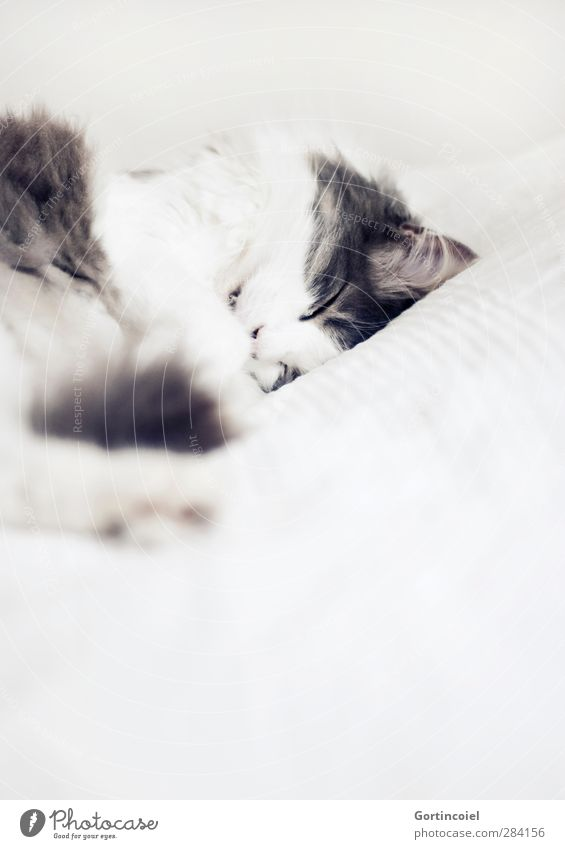 You fell asleep. Forever. Animal Pet Cat Pelt 1 Sleep Domestic cat Long-haired Turkish Angora Peaceful Relaxation Calm Delicate Cat's head Beautiful Cute Love