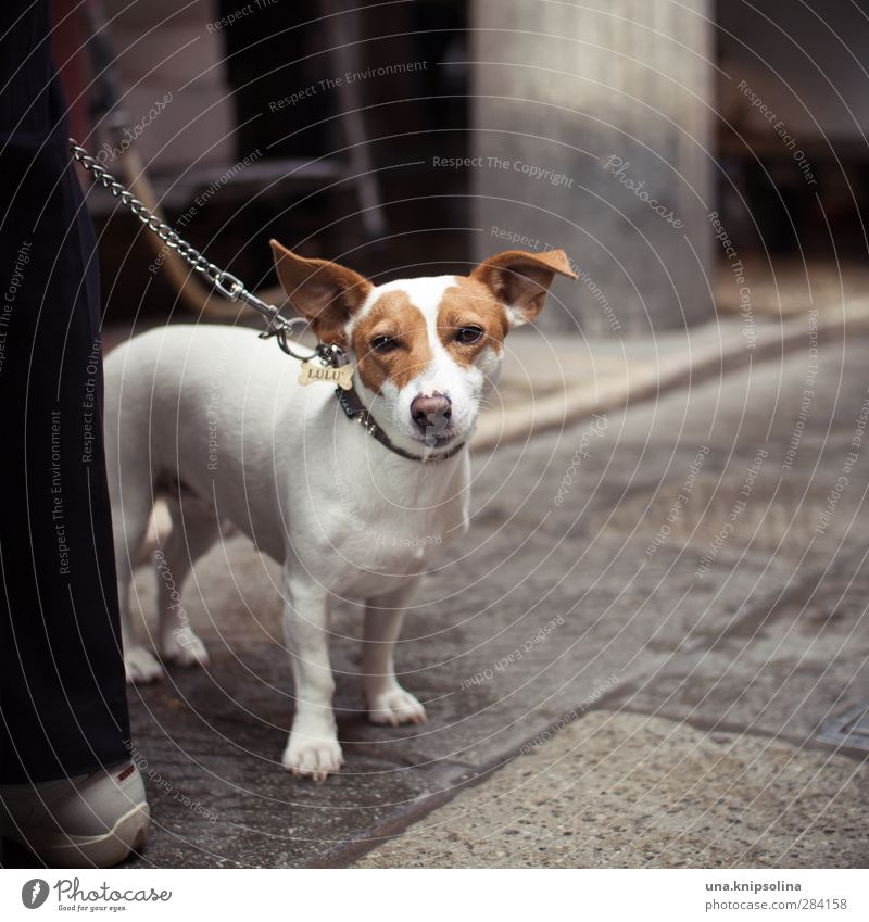 lulu Animal Pet Dog Animal face Pelt Jack Russell terrier 1 Observe Wait Speckled Street life Dog lead Dog collar Walk the dog Colour photo Exterior shot Detail