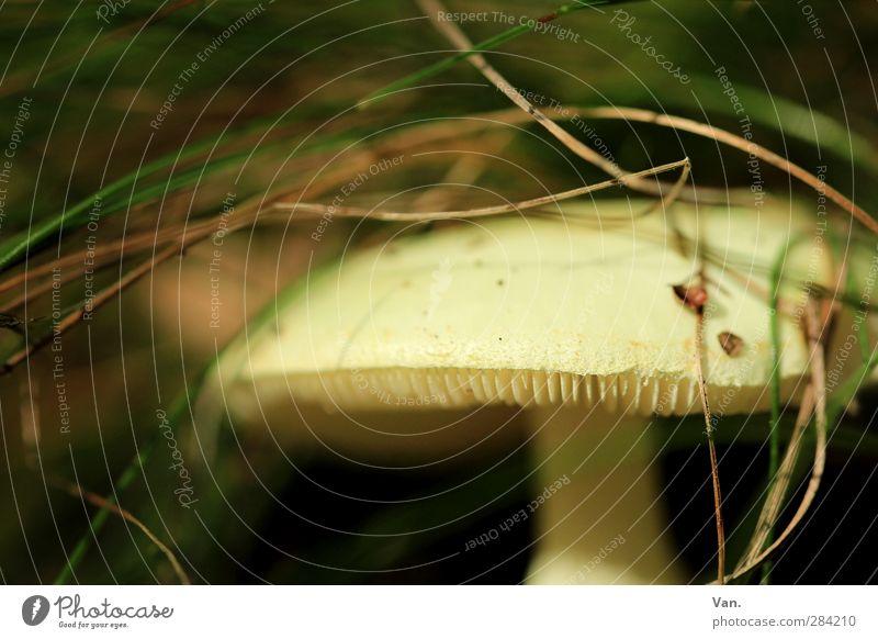 Careful, poisonous! Nature Plant Autumn Grass Mushroom blenny leaf fungus Lamella Forest Yellow Green Poison Dangerous Colour photo Subdued colour Exterior shot