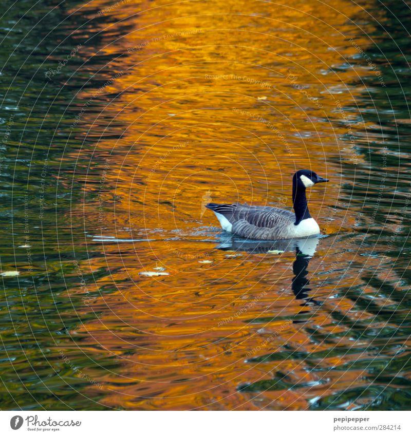 ------!- Water Autumn Pond Lake Animal Wild animal Bird 1 Movement Swimming & Bathing Orange Goose Colour photo Exterior shot Twilight Light Reflection Sunlight