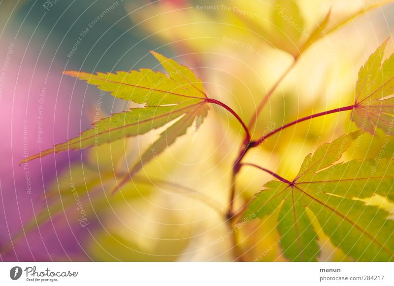 yellow tips Autumn Plant Bushes Leaf Maple leaf Maple branch Japan maple tree Autumnal colours Authentic Natural Yellow Colour photo Exterior shot Abstract