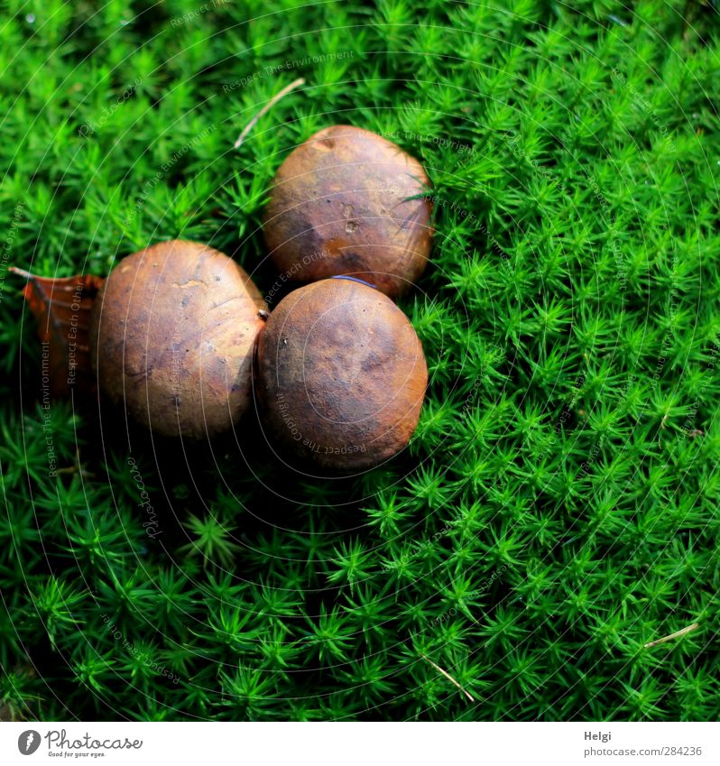 triplet Environment Nature Plant Autumn Moss Foliage plant Wild plant Mushroom cap Cep Forest Stand Growth Esthetic Authentic Exceptional Fresh Delicious