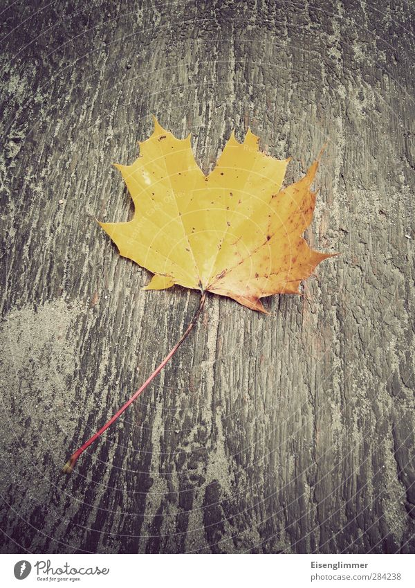 autumn leaf Leaf Autumn leaves Maple leaf Old Esthetic Yellow Transience Board Wood backing Autumnal colours Colour photo Exterior shot Deserted Copy Space top