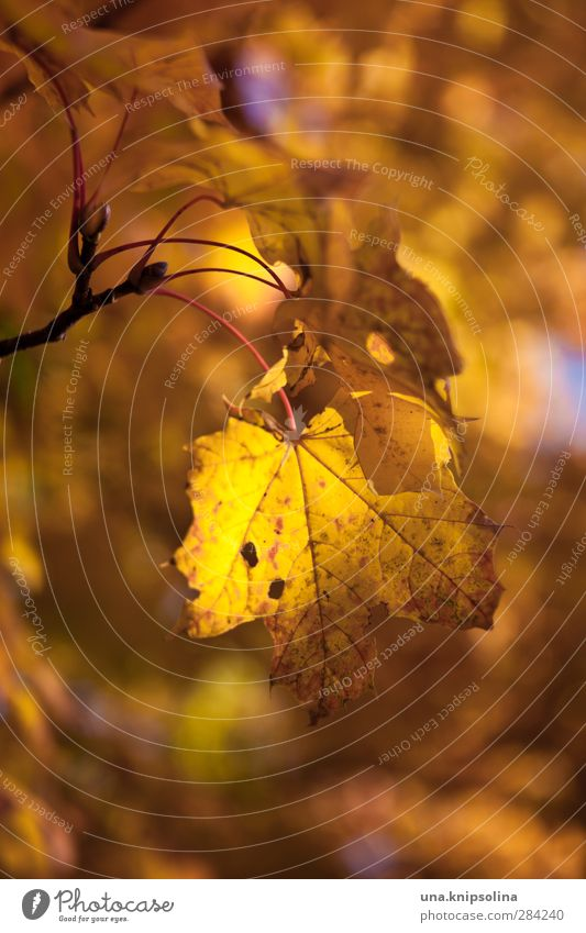Autumn (t) Environment Nature Plant Tree Leaf Maple tree Hang Dyeing Orange Colour photo Exterior shot Close-up Detail Pattern Structures and shapes Deserted