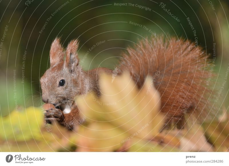 autumn squirrel Environment Nature Animal Autumn Leaf Wild animal 1 Cute Brown Green Squirrel Mammal Acorn Autumn leaves Autumnal Colour photo Exterior shot