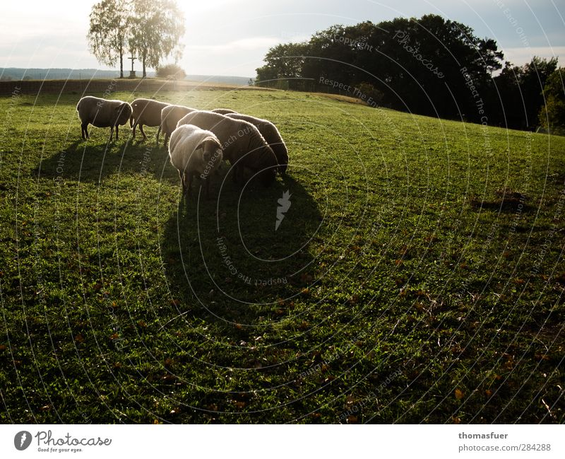 100% genuine Lambswool Nature Landscape Sky Clouds Sunlight Autumn Meadow Animal Farm animal Sheep Group of animals Herd To feed Together Brown Green Moody
