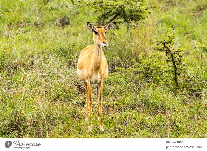 female bush guib in the savannah Beautiful Safari Man Adults Nature Animal Park Natural Wild Green Black Bushbuck Nairobi aepyceros Africa african animals