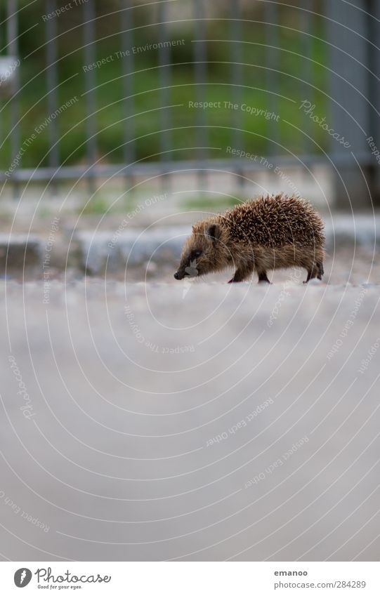 absurdly Nature Animal Wild animal Zoo 1 Baby animal Walking Free Small Cute Hedgehog Spine Thorny Freedom Fence Gravel Lanes & trails Odor Search