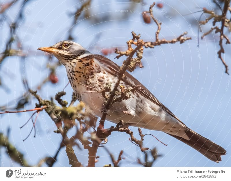 Juniper Thrush in a Tree Nature Animal Sky Sunlight Beautiful weather Twigs and branches Wild animal Bird Animal face Wing Claw Turdus Pilaris Throstle Beak