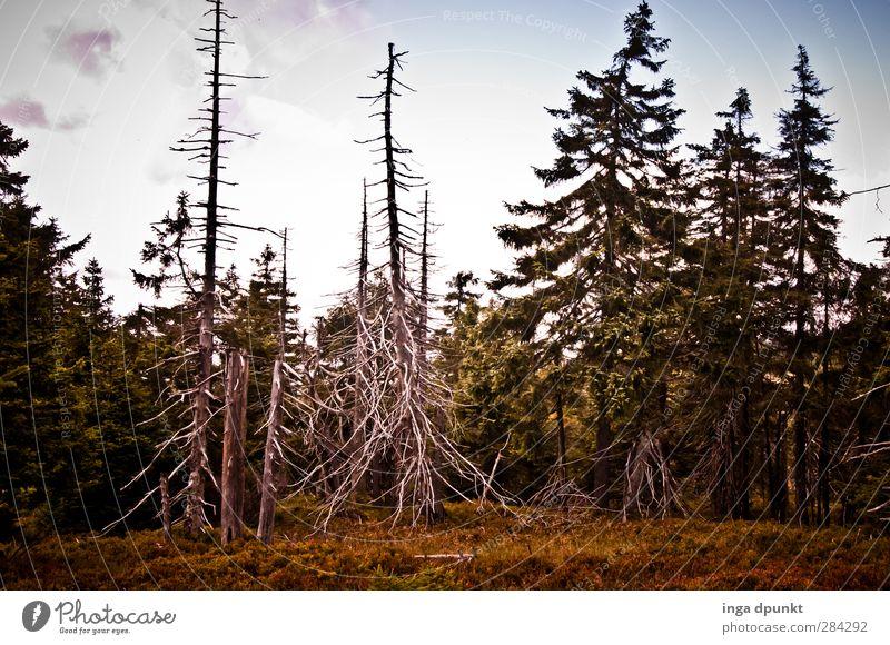 The bark beetle Environment Nature Landscape Plant Tree Coniferous trees Spruce forest Forest Harz Highlands Germany Brocken Saxony-Anhalt Bark-beetle