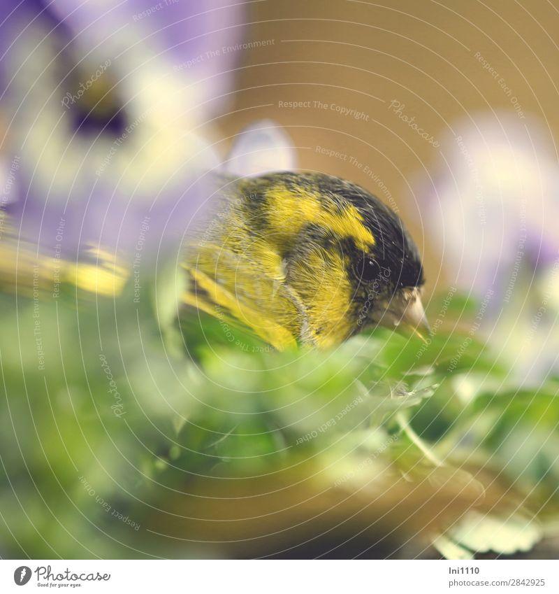 Blue Green White Flower Animal Black Yellow Blossom Spring Garden Bird Brown Wild animal Hide Pansy