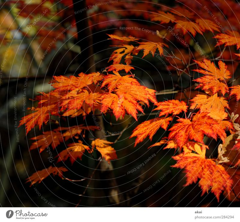 Norway maple leaves Gardening Agriculture Forestry Nature Plant Tree Leaf Park pretty Point Orange Red Black Maple branch Colour photo Exterior shot Morning