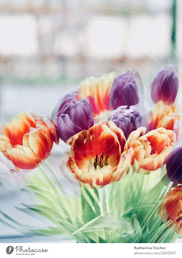 Tulips Flowers Spring Art Nature Summer Autumn Winter Plant Leaf Blossom Bouquet Blossoming Illuminate Beautiful Yellow Gold Green Violet Orange Pink Red