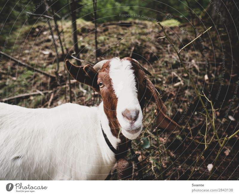 Goat looking into camera Nature Animal Funny Pet Farm animal Love of animals Goats
