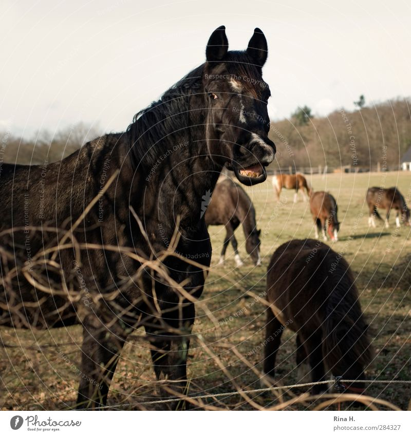 Hi ! Winter Beautiful weather Meadow Animal Pet Horse Group of animals Herd To feed Authentic Nature Salutation Whinny Welcome Set of teeth Fence Colour photo