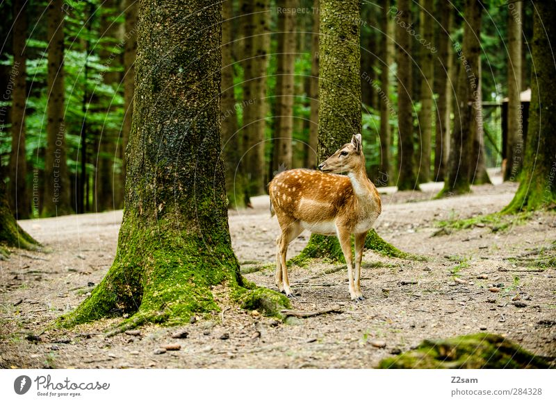 there's a reh in the woods... Nature Landscape Summer Tree Forest Wild animal Roe deer 1 Animal Observe Looking Stand Authentic Natural Cute Loneliness Elegant