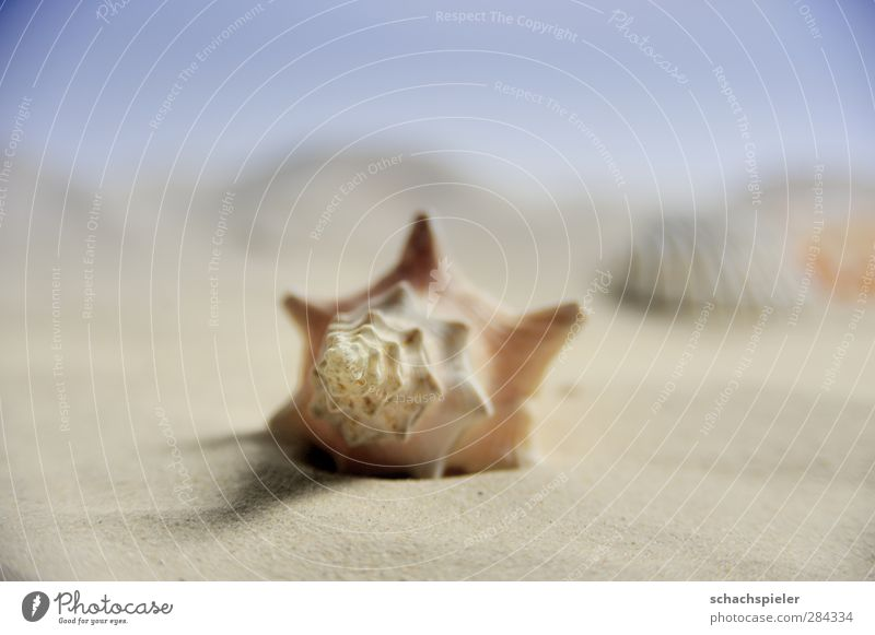 another cottage Beach Ocean Sand Coast Snail Mollusk Sea snails Blue Brown White Loneliness shell Colour photo Close-up Macro (Extreme close-up) Copy Space top