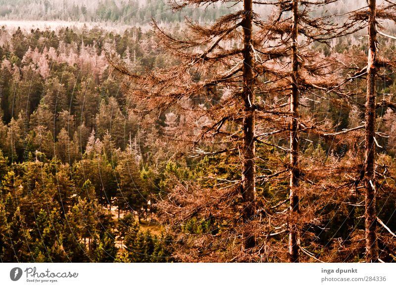 spruce forest Environment Nature Landscape Plant Tree Forest Spruce forest Coniferous trees Coniferous forest Harz Highlands Mountain Saxony-Anhalt Bark-beetle
