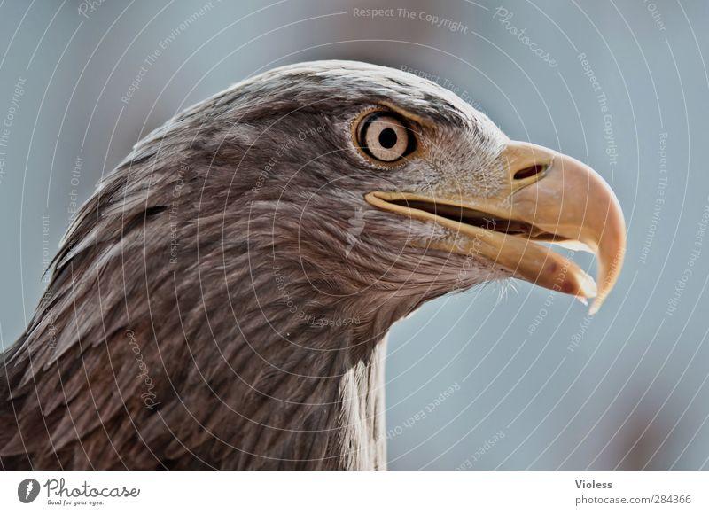 Head Bird Natural Power Wild Observe Fantastic Determination Eagle