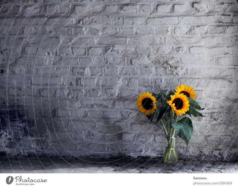 Green Plant Colour Flower Leaf Yellow Dark Wall (building) Wall (barrier) Dirty Transience Bouquet Fragrance Still Life Sunflower Converse