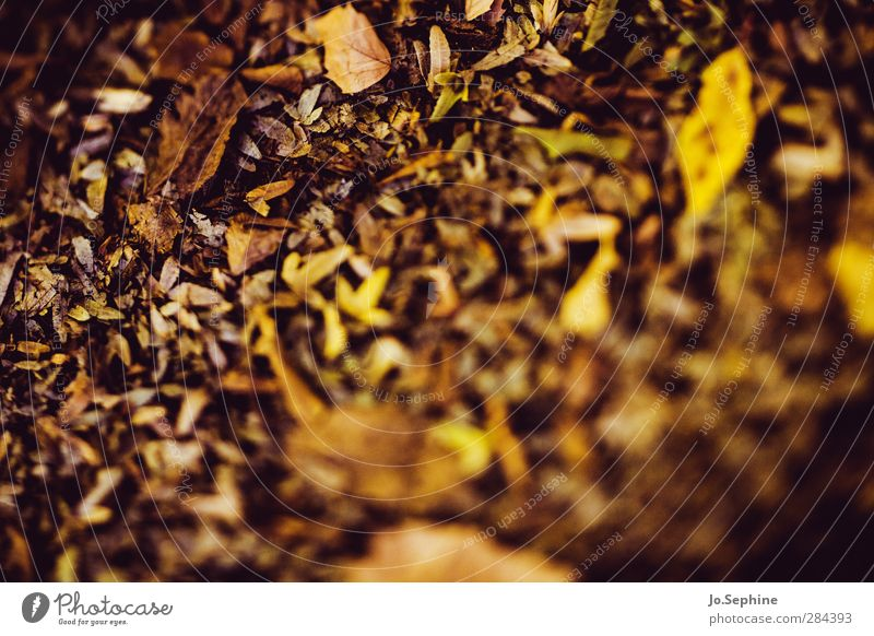 leaves Nature Plant Autumn Leaf Autumn leaves Brown Yellow Gold Transience Change Autumnal Limp Seasons Faded Progress Colouring Warm colour Colour photo