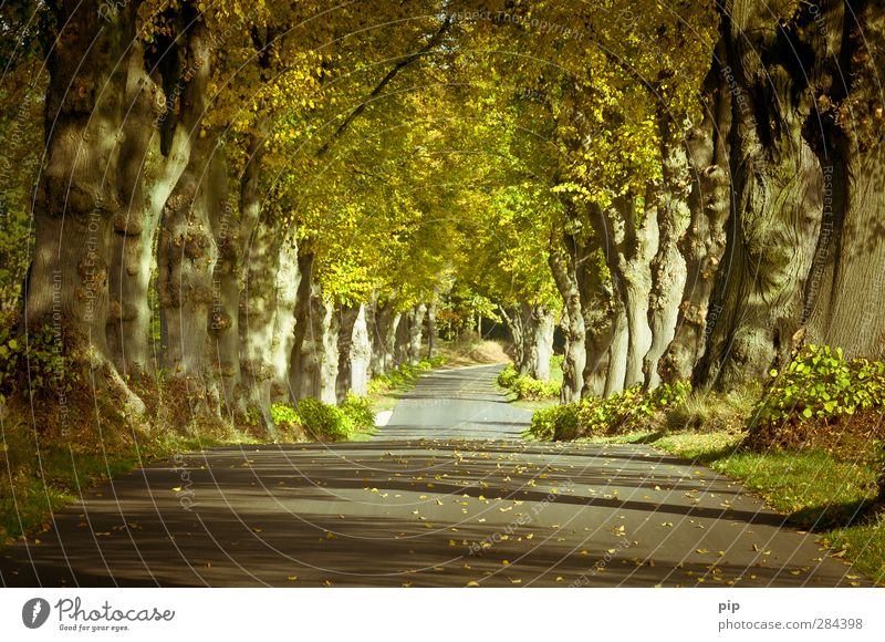 avenue of the year 2012 Environment Nature Plant Autumn Beautiful weather Tree Tree trunk Lime tree Treetop Leaf Avenue Street Country road Calm Lanes & trails
