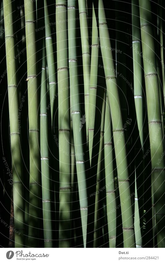 Nature Green Plant Asia Strong Stalk Virgin forest Narrow Exotic Agricultural crop Bamboo Bamboo stick Stability Elastic