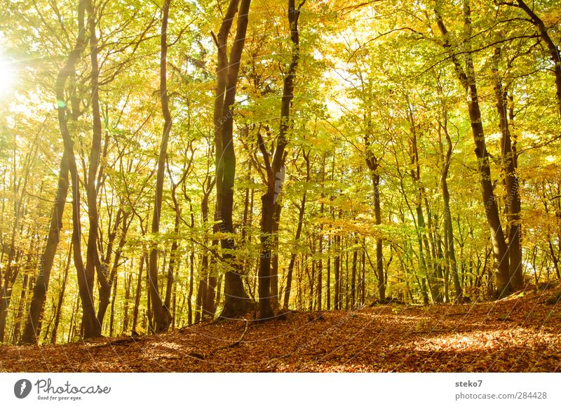 blade change Autumn Tree Forest Bright Warmth Brown Yellow Gold Nature Change Beech wood Deciduous forest Leaf canopy Colour photo Exterior shot Deserted Day