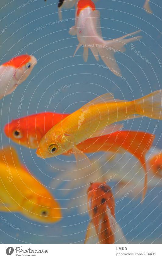 White Animal Yellow Eyes Swimming & Bathing Orange Group of animals Fish Pet Aquarium Full Fin Scales Goldfish Gill Pet shop
