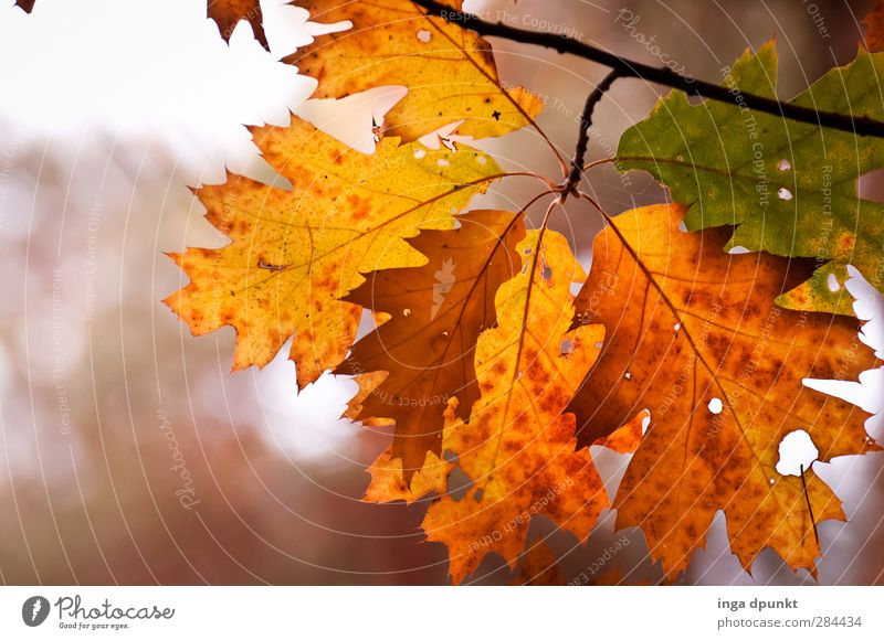 Nature Old Beautiful Plant Tree Leaf Forest Environment Transience Branch Seasons Twig Autumn leaves Autumnal Autumnal colours Oak tree
