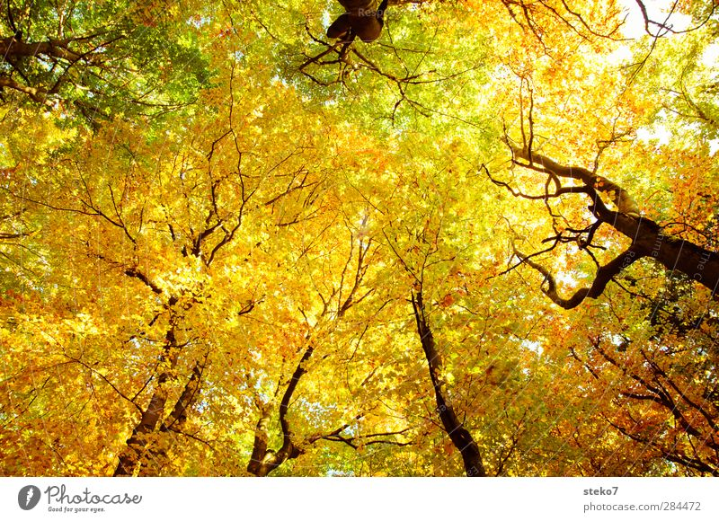 autumn sky Nature Autumn Beech wood Beech tree Forest Tall Above Warmth Yellow Gold Green Relaxation Transience Change Leaf Leaf canopy Colour photo